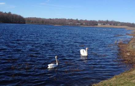 Swans at Eel Pond Rye NH